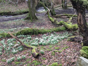 Snowdrops all around