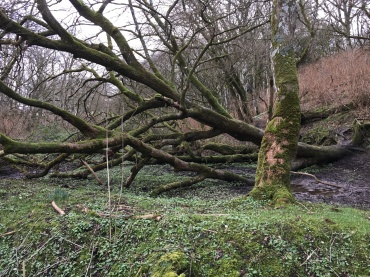 Fallen trees at Binsgarth