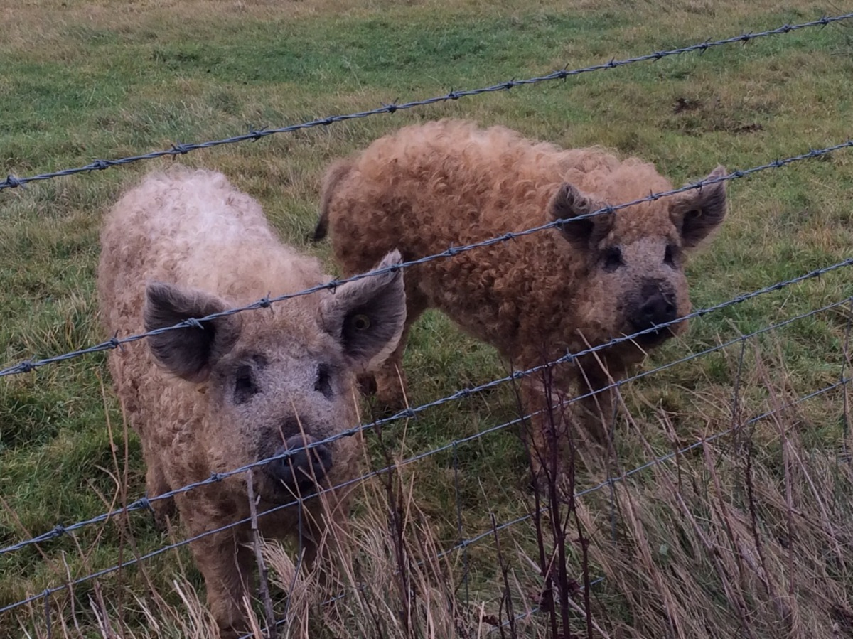 Naked Sheep, Wooly Pigs